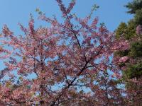 上野公園内で咲き始めていた桜